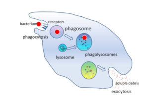 A white blood cell engulfing a bacterium is an example of Phagocytosis